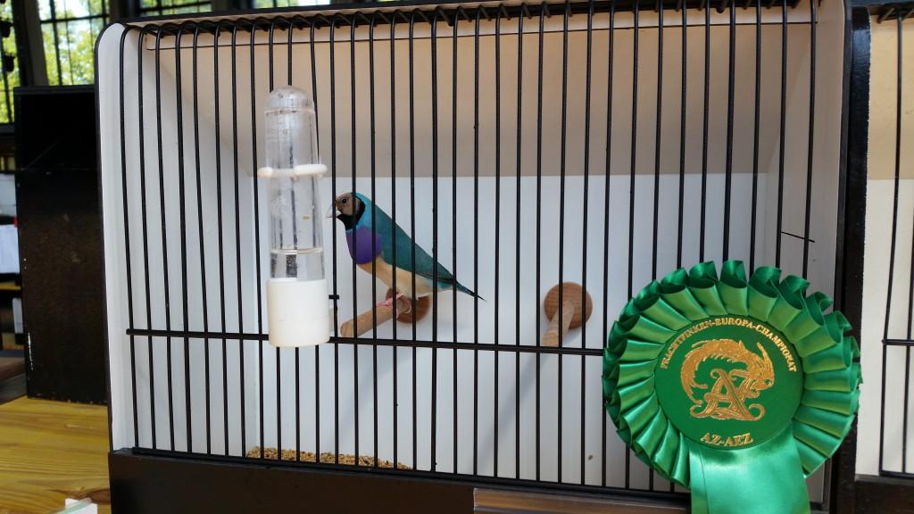 Europa-Championat 2015 - Gouldamadine Blau Rotkopf - 1. Platz
